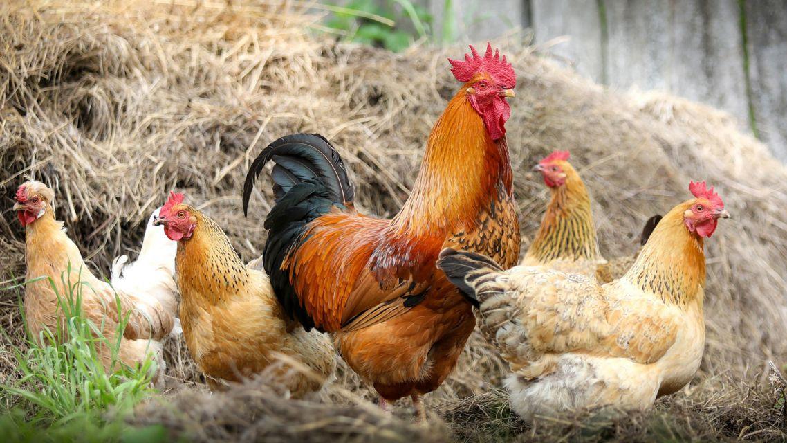 Výskyt vysokopatogénnej vtáčej chrípky na území SR